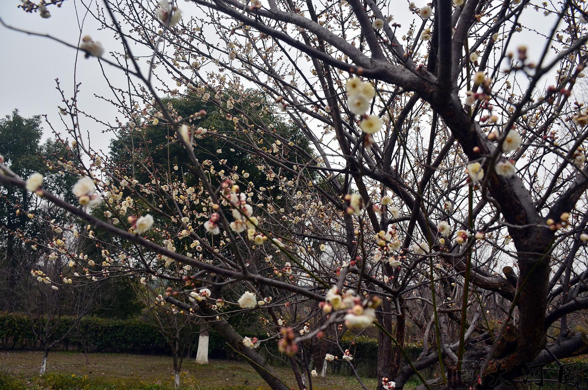 太仓梅园太仓赏看梅花的好去处(太仓现代农业园西南角) 这里是太仓 摄影 第15张