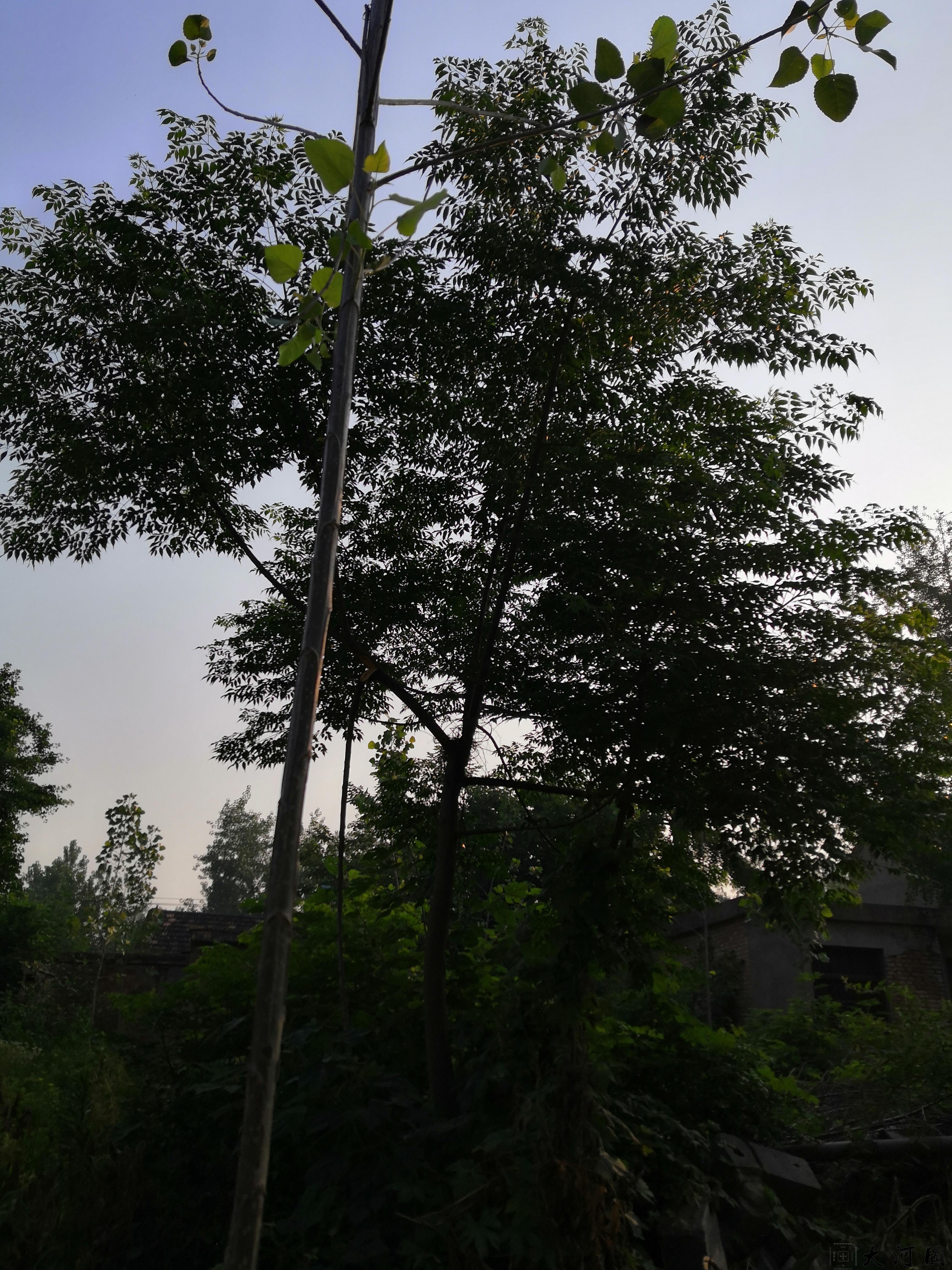 (土语练枣树)楝枣树的风水意义和外相关系 第2张