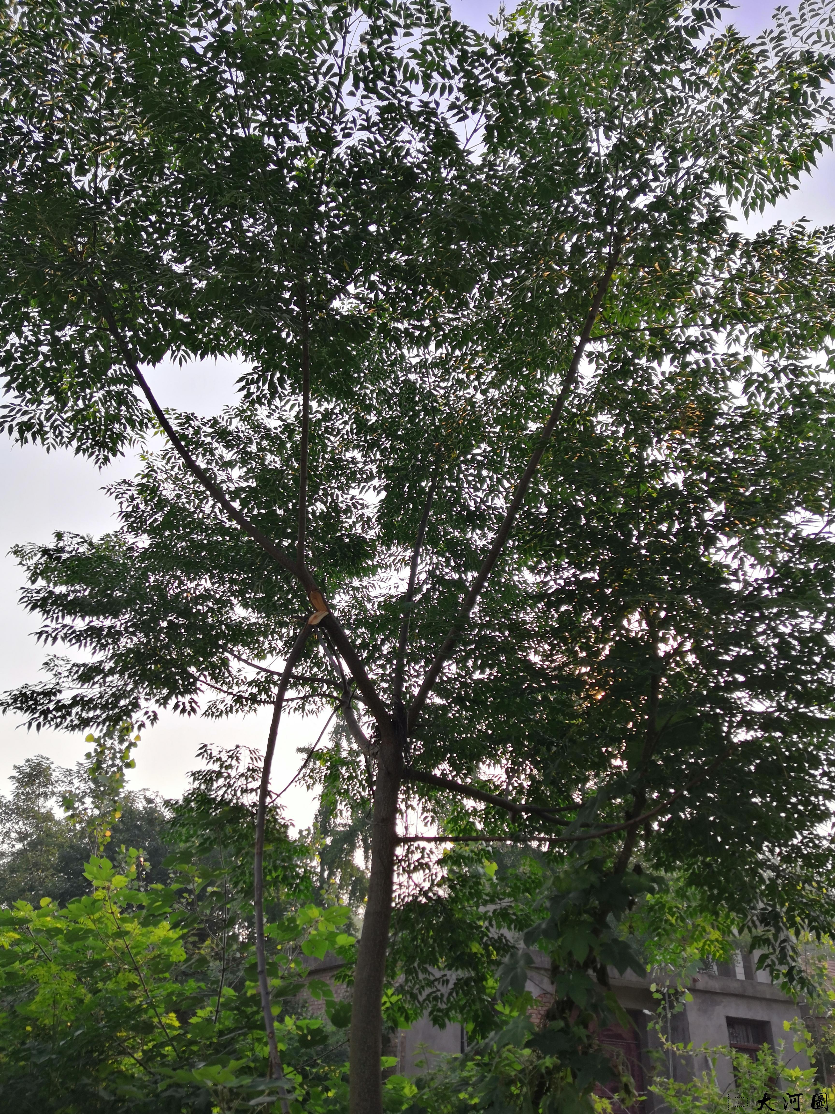 (土语练枣树)楝枣树的风水意义和外相关系 第4张