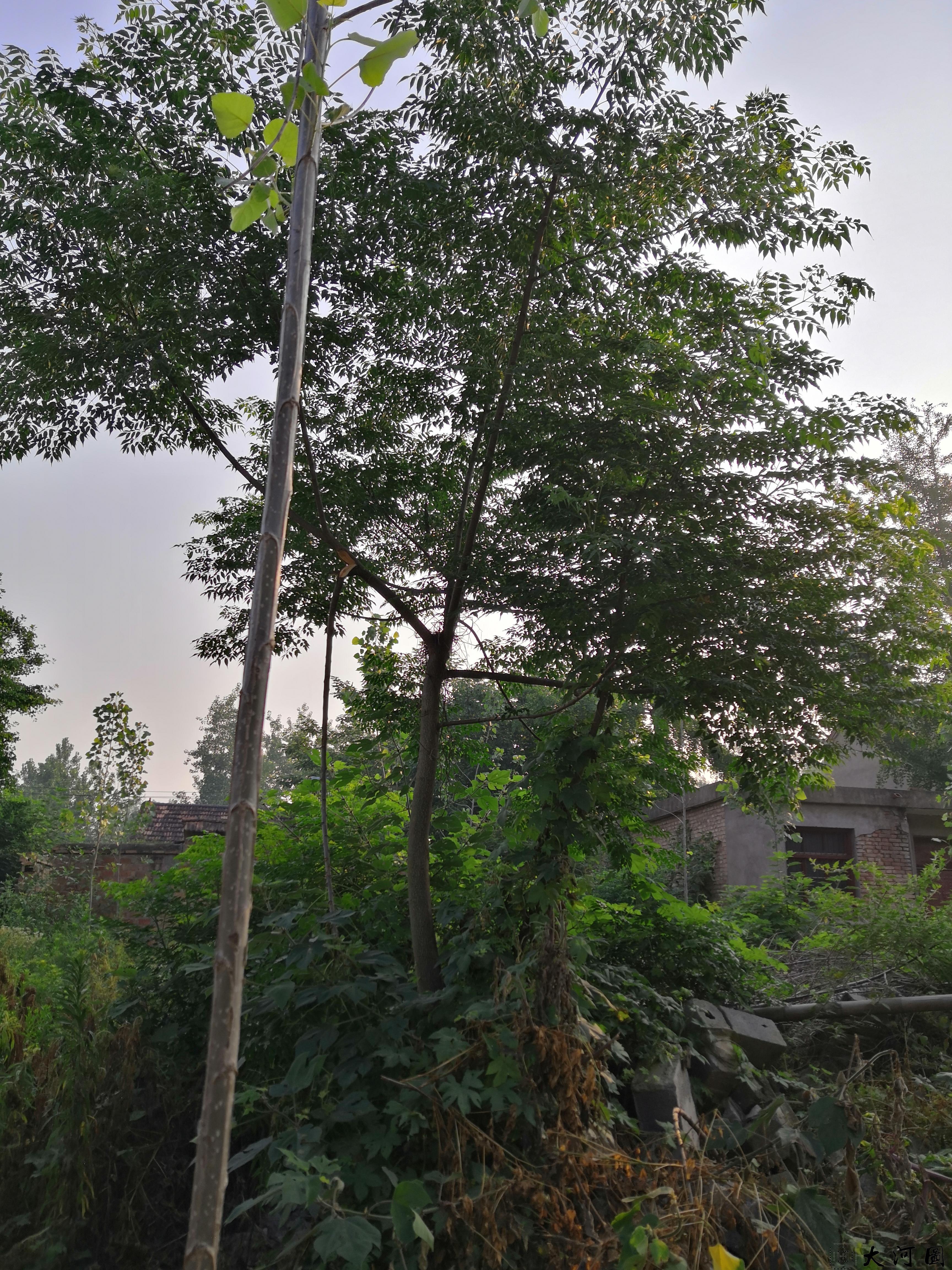 (土语练枣树)楝枣树的风水意义和外相关系 第5张